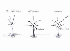 Wintersnoei Fruitbomen