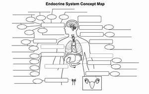 Endocrine System Diagram Worksheet   Endocrine System