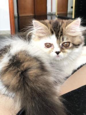 Gatti Persiani Gratis by Persiano Gatti Annunci Animali Trovacuccioli