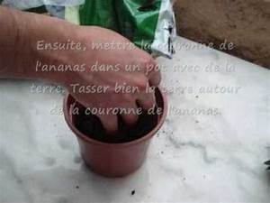 Faire Un Thé Glacé : comment faire pousser un ananas youtube ~ Dode.kayakingforconservation.com Idées de Décoration