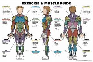 Mens Exercise And Muscle Guide Professional Fitness Wall