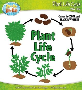 Plant Life Cycle And Life Stages Clipart {zipadeedoodah Designs}