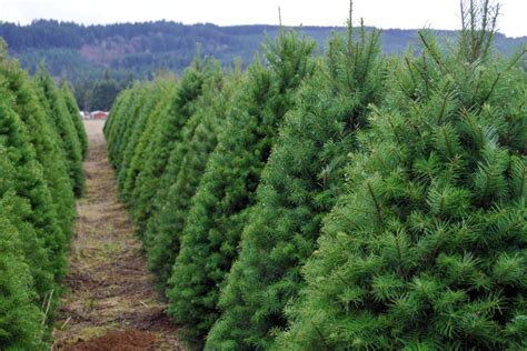 christmas tree lot near me the ultimate guide to u cut tree farms portland monthly