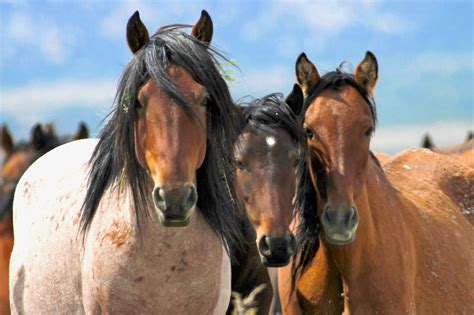 how are horses spectre of slaughter haunts wild horses as blm begins to run out of money tuesday s horse