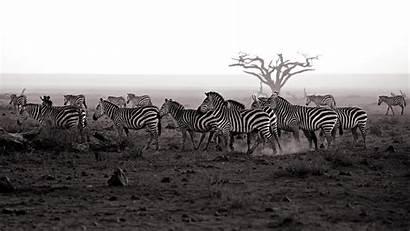 Zebra Wallpapers Animal Mittler Achim Wallpaperxyz Extraordinary