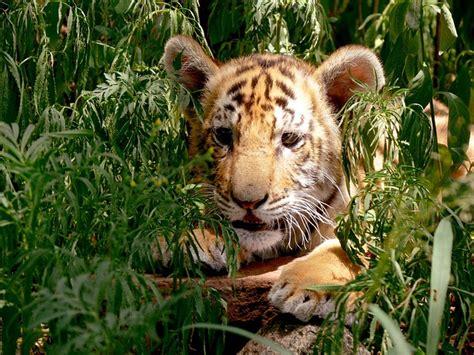 tiger cub hiding  photo  pixabay