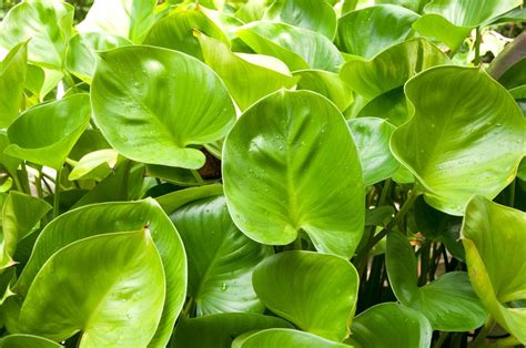 smart home interior design leaf philodendron philodendron oxycardium 15