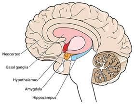 what does your amygdala do wonderopolis
