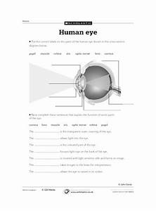 Diagram Of The Human Eye  U2013 Primary Ks2 Teaching Resource