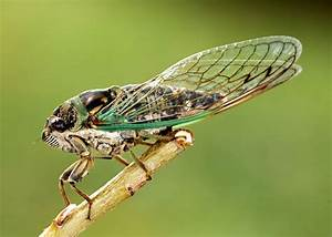 Flying Into Symbolic Cicada Meaning on Whats-Your-Sign