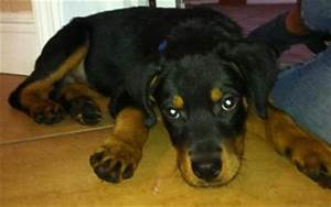 Does My Rottweiler Look Pure And Healthy A Love Of
