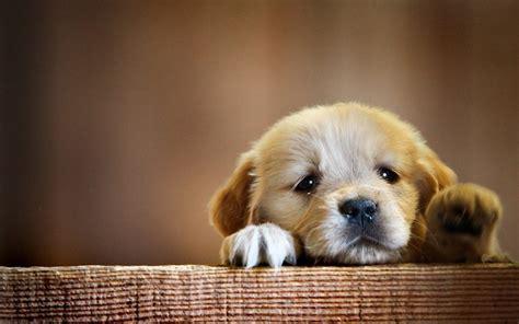 golden retriever puppy cute paws hd dog wallpaper