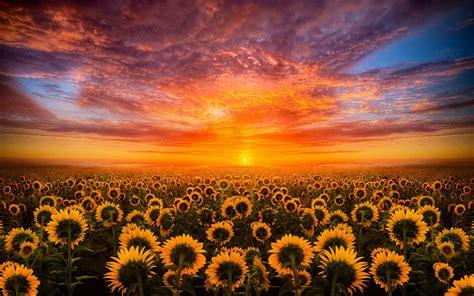 Desktop Backgrounds by Sunset Sky Cloud Field With Sunflower Hd Desktop