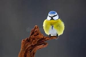 Oiseau Jaune Et Bleu : la m sange bleue l 39 oiseau chanteur bleu et jaune mignon dans la sc ne d 39 hiver le flocon de ~ Melissatoandfro.com Idées de Décoration