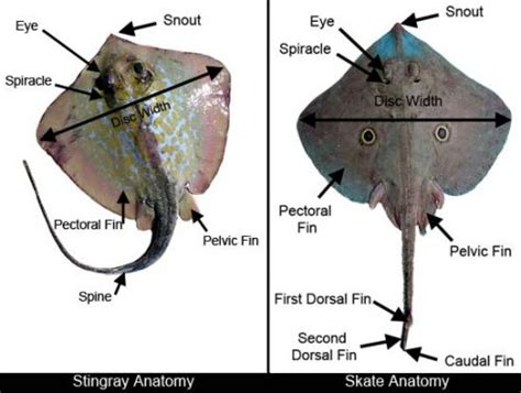 skate ray anatomy discover fishes