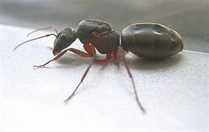 Ameisen Mit Flügel : ameisenk nigin aussehen und aufgaben im ameisenstaat ~ Buech-reservation.com Haus und Dekorationen