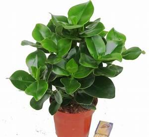 Gräser Winterhart Immergrün : clusea rosea zimmerpflanzen kaufen herausragende qualit t harro 39 s pflanzenwelt ~ Frokenaadalensverden.com Haus und Dekorationen