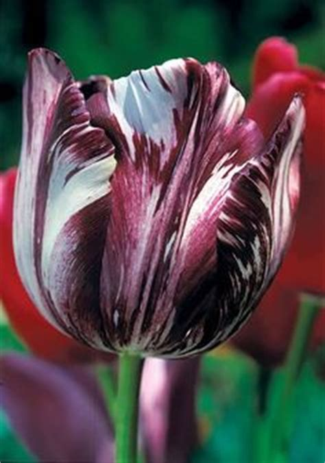 1000 images about tulips on tulip blue
