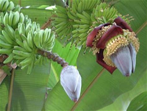 mini bananen pflanze banaan