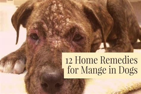 home remedies  mange  dogs