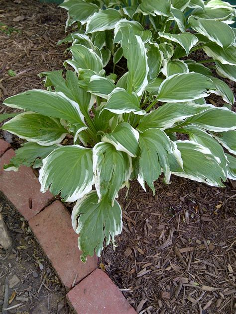 plants like hostas i have some beautiful plants hosta that look like they re being eaten by ask an expert