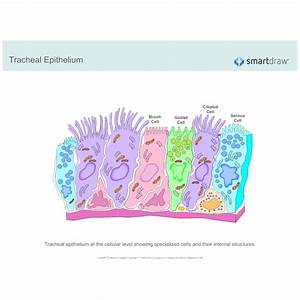 Tracheal Epithelium