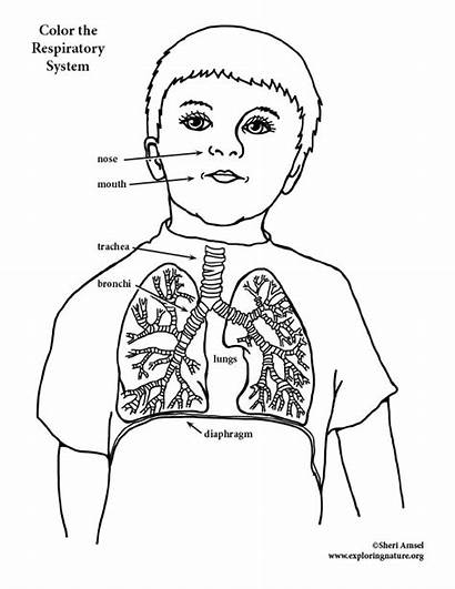 Respiratory System Coloring Pages Drawing Elementary Template