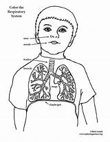 Respiratory System Coloring Pages Drawing Elementary Template Anatomy Deposition Pdf Getdrawings Exploringnature sketch template