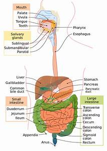 Human Digestive System Components And Human Digestion