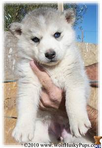 Siberian Husky Puppy for Sale: SIBERIAN HUSKY TIMBER WOLF ...