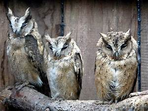 Owls at Small Breeds Farm and Owl... © Christine Matthews ...