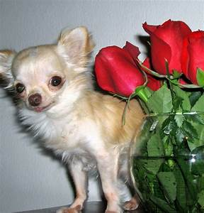 Smallest Dog In The World Full Grown - Dog : Pet Photos ...