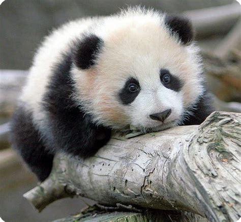 cool images cute panda pics