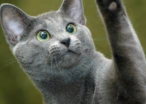 russian blue cat breeders cats in pictures photos and cat eye color