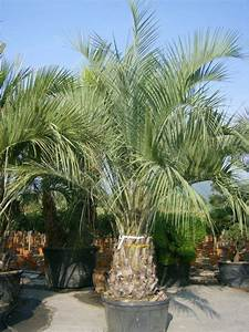 50 best butia capitata images on pinterest palm trees With katzennetz balkon mit palmeras garden apartments