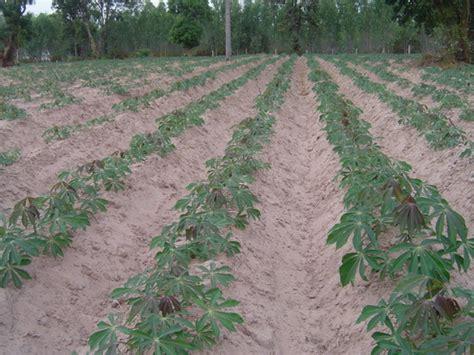 การทำเกษตรในภาคอีสาน: การเตรียมดินก่อนปลูกมันสำปะหลัง