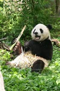 Giant Panda Bear Habitat