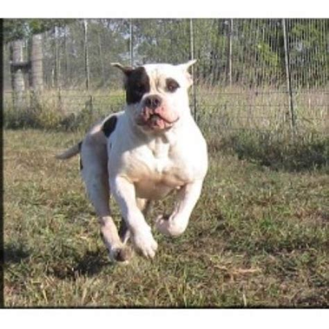 texas american bulldogs american bulldog breeder  blue