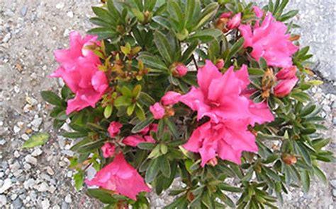 foto de Pride of Dorking Azalea Gardenality