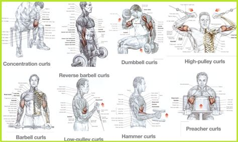bicep workouts  mass building