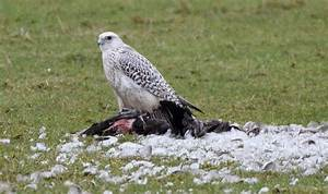 Beautiful gyr falcons spotted on Britain's Western Isles ...