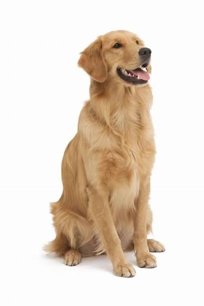 Dog Golden Retriever Transparent Clipart Pet Puppy