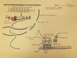 Protein Synthesis Diagram Worksheets