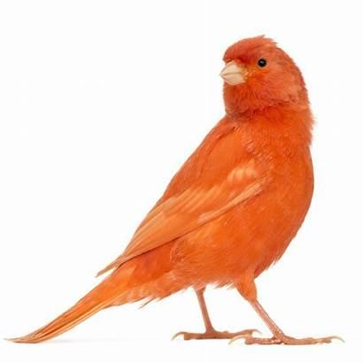 Canary American Orange Bird Singer Song Birds