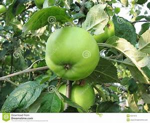 Green Apple On Tree Royalty Free Stock Images - Image: 6221679