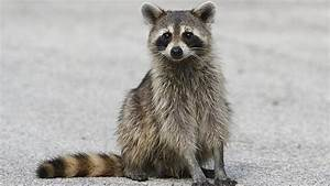 Woman Drowns Rapid Raccoon in a Puddle After it Attacks ...