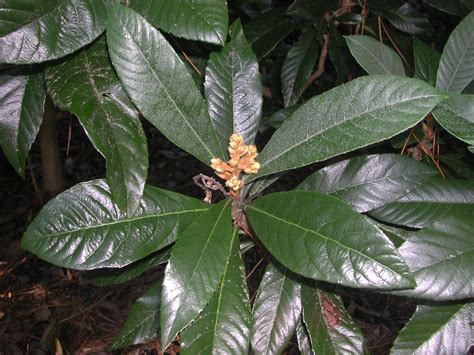 Leaves of Loquat   Nature Photo Gallery
