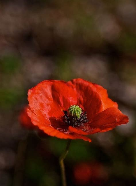 poppies meaning 1000 ideas about poppy flower meaning on pinterest flower meanings red poppies and poppies