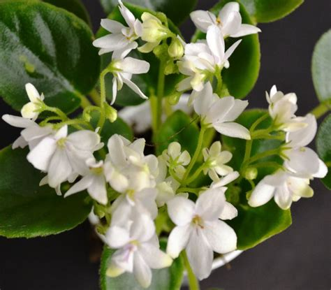 violet leaves turning white 1000 images about miniature african violet flowers plants on pinterest miniature shape and