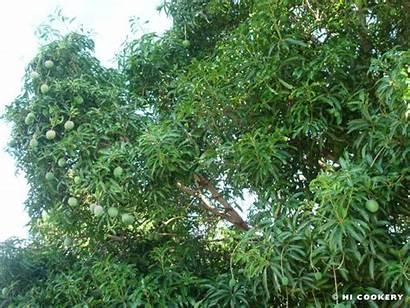 Mango Tree Cake Hawaii Islander